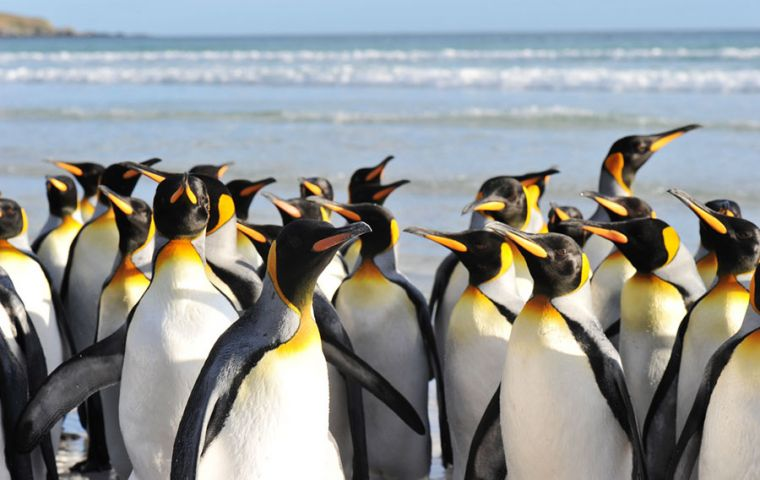 Volunteer Point on the Falkland Islands is the world's largest accessible king penguin colony with 1000 pairs of breeding penguins.Pic by Derek Pettersson