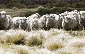 Falkland Landholdings owns and manages three farms with some 150.000 sheep