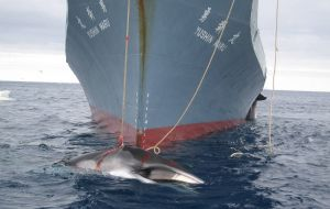 Japan claims the whaling is for scientific research, yet also allows the sale of the whale flesh in markets and restaurants.