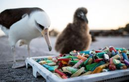"""But the scientists were telling us they sometimes pull out 200 or 250 pieces of plastic out of dead birds or from the regurgitation."""