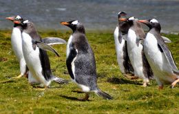 One-third of the world's Gentoo penguin population lives in the Falklands. They use winter to build up their energy reserves to rear chicks in summer