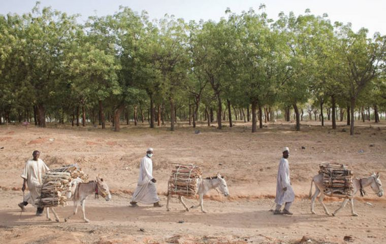 Transporting firewood in Niger.