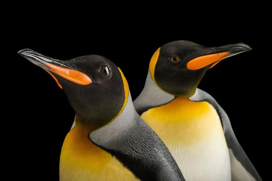 Largest king penguin colony in the world shrinks by 90 percent