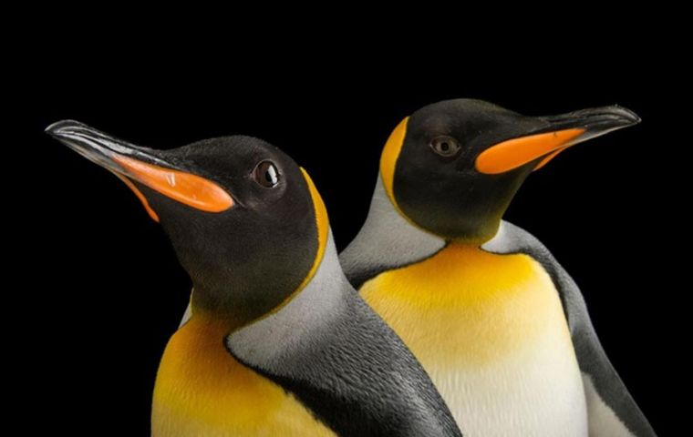 Satellite images and photos taken from helicopters show penguin population has collapsed, some 200,000 remaining, according to a study in Antarctic Science