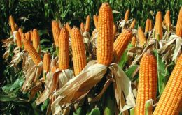 Brazil's first corn is estimated to total 30.29 million tons, more than 9% above the previous season, the consultancy's data showed.