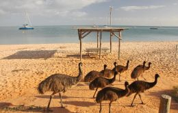"In Broken Hill, 935km west of Sydney, groups of emus have been seen ""running laps of the main street, eating gardens and gate crashing football matches"""