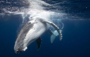 "Japan's ""Way Forward"" document would create a ""Sustainable Whaling Committee"" for nations wishing to allow their nationals to hunt whale populations"