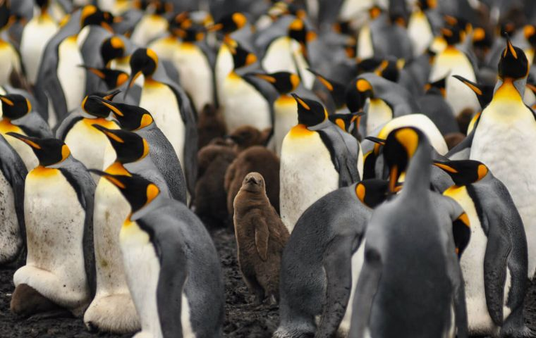 King Penguins led the wonder list, having polled some 2.500 visitors from 30 different countries