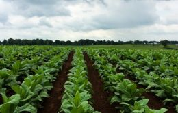 The tobacco industry is Cuba's fourth largest employer and economic sector