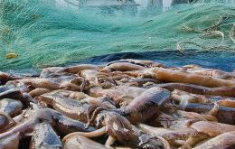Calamari catches this year have totaled almost 79.000 tons in the two seasons, 43.085 and 35.827