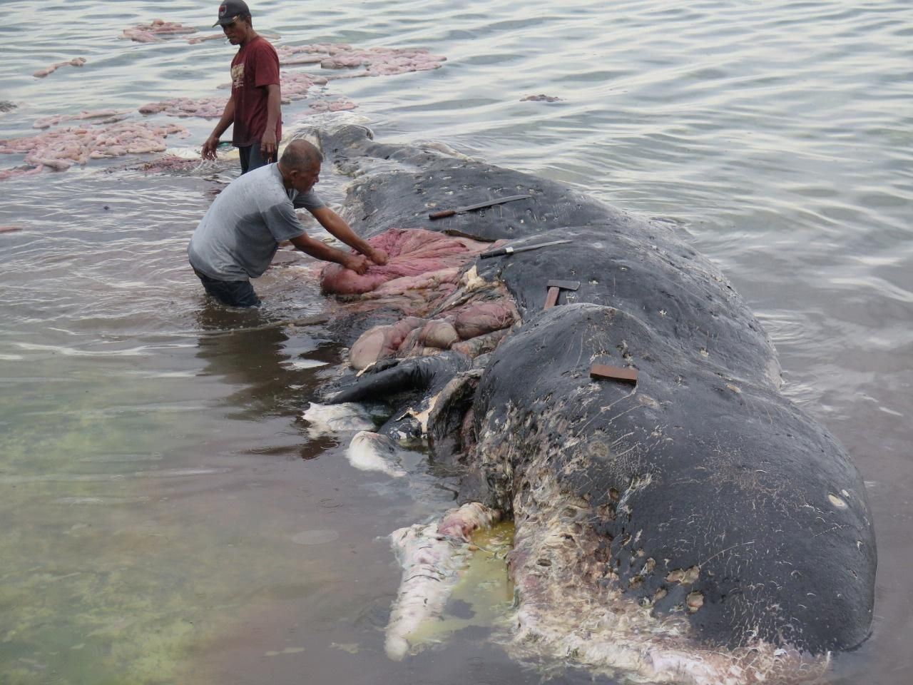 Dead Sperm Whale In Indonesia Had Kilos Of Plastic Waste