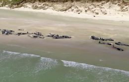 The two pods of pilot whales were beached about 2km apart from each other on a beach on Rakiura or Steward Island off the coast of South Island