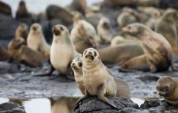 Fur seals thrive on Resurrection Island