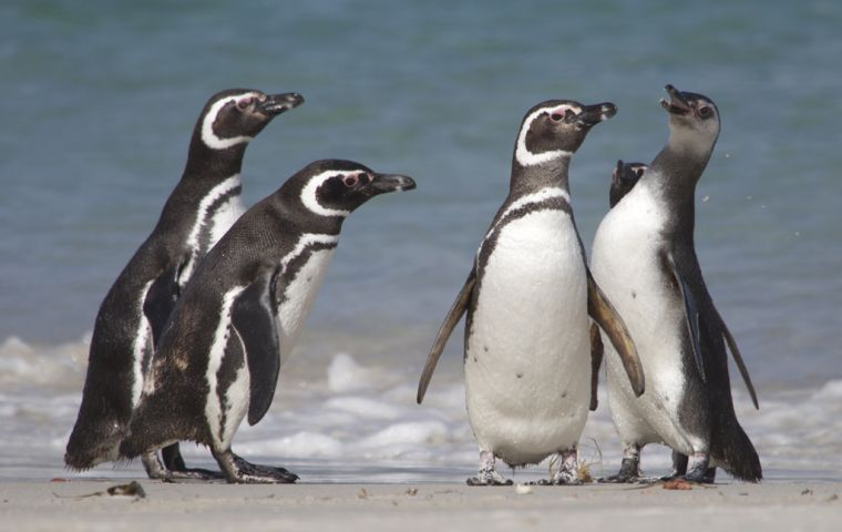 Published in the journal Current Biology, it sheds fresh light on the extraordinary lifestyle of the Magellanic penguins, commonly found around the Falkland Islands