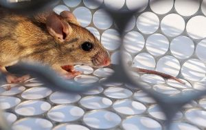 The disease is transmitted by open range long tail mice which carry the virus in their saliva, urine and/or droppings. Inhaling their odors is also highly risky