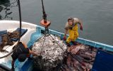 Minister Valente did not discard lifting the ban on trawling, but, in addition to the hand line or jigging gear, will present the purse seine as a fishing gear for cuttlefish