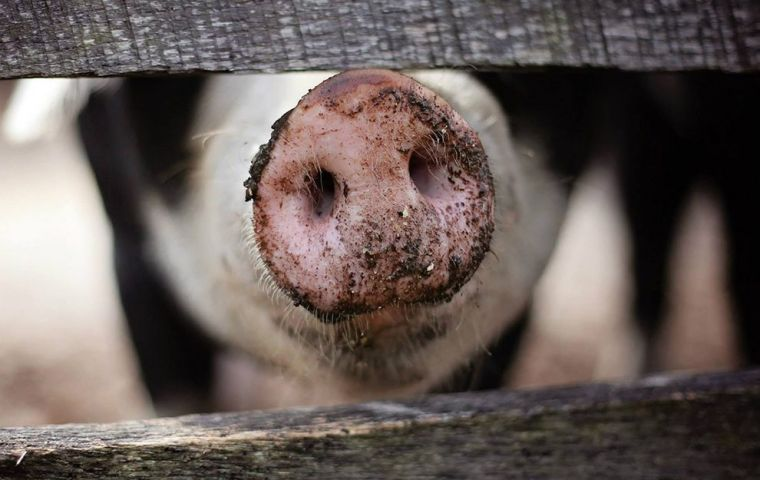 There are fears that African swine fever, which has been found in two dead wild boar in Belgium, could threaten Denmark's huge pig industry