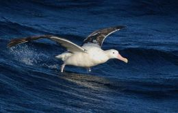 An albatross flies over the Drake Passage.