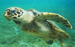 Fauna & Flora International has been working to protect marine turtles in Nicaragua for 15 years