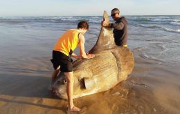 The fish was found at Coorong National Park, 80km south of the city of Adelaide. It's believed to have later washed back into the ocean.