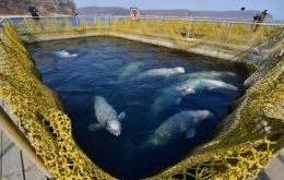 There are 11 killer whales (orcas) and 87 belugas in pens at Srednyaya Bay. A criminal investigation is under way