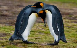 King Penguins at  Volunteer Point - Falkland Islands (Pic D.Pettersson)