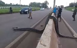 Cars and trucks came to a stop on the BR-364 interstate when drivers spotted the approximately 30-kilogram snake in the middle of the road near Porto Velho