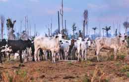Repórter Brasil, the Bureau of Investigative Journalism reported that a JBS supplier in the state of Pará had been raising cattle in a deforested area (Pic: Marcio Isensee:)