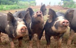 An outreak of classic swine fever virus was detected in the Brazilian state of Piauí