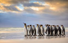 Kings are just one of five penguin species in the Falklands, alongside the wacky-looking rockhoppers, gentoos, macaronis and the burrowing magellanics.