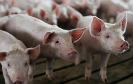 The outbreak is the first at an industrial farm since August when the virus hit six breeding farms in the Balkan country, forcing to cull over 130,000 pigs.