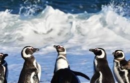 The penguins were found on the eastern side of Isla de los Estados off the eastern tip of Tierra del Fuego at the southernmost end of the South American continent