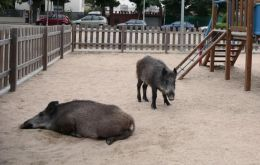 Wild boar have descended from the hills around Barcelona in Spain while sika deer are nosing their way around the deserted metro stations of Nara in Japan.