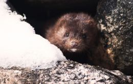 Mink carrying the virus were found on four of the 155 farms in the country where they are bred for their fur, Agriculture Minister Carola Schouten said in a letter