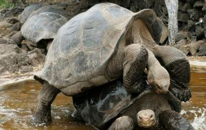 There are now over 2,000 of them on Española Island. The giant tortoises are known for their long, leathery necks and lifespans of over 100 years