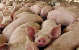 Exports of pork from January to July climbed 38,78% to 579,900 tons compared to  417,800 tons exported in the same period of 2019