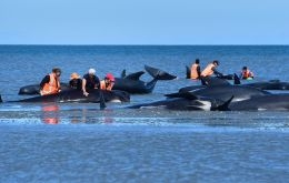 Rescuers had managed to free almost 90 of the long-finned pilot whales beached off the country's remote southern coast by late Thursday.