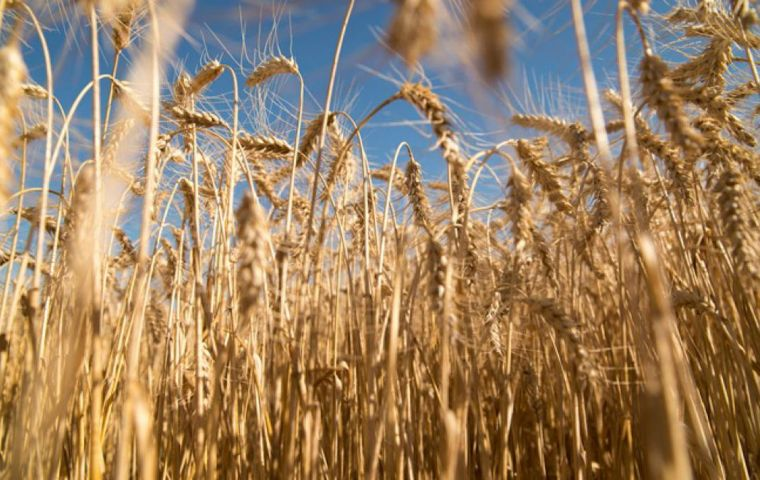 """This is the first approval in the world for drought-tolerant genetic transformation in wheat,"" the CONICET said in a statement."