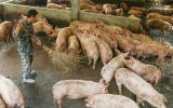 For more than two years, Chinese breeders have battled outbreaks of African swine flu that reduced the country's domestic pig herd in 2019 by 41%