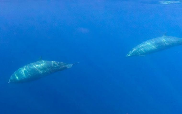 The team of researchers came upon three unusual specimens while tracking a different, rare species of typically shy beaked whales Mexico's San Benito Islands