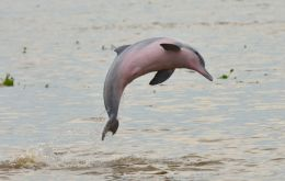 The organization also moved an Amazon dolphin with a pinkish belly the Tucuxi to its endangered list, meaning that all of the world's freshwater dolphins are now threatened