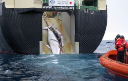 Japan has always been up front about its whaling intent, and on July 1st, 2019, the nation resumed commercial whaling following withdrawal from the global IWC