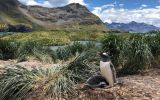 South Georgia is home to important colonies of penguins, including Gentoo. Their main diet is krill – a small shrimp-like crustacean – that is abundant in the area.
