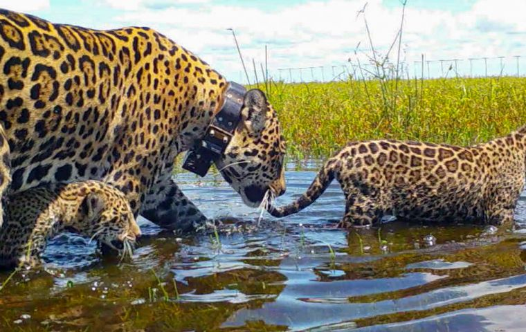Mariua, an adult jaguar who was rescued as an orphan cub in Brazil, and her two captive-born cubs were released into Gran Iberá Park in January 2021