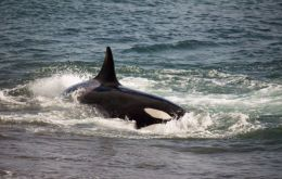 Whale expert García said it was highly unlikely an orca would mistake a human being for a sea lion.