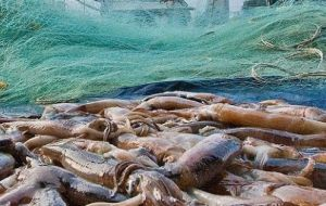 The total Ilex catch was 153,000 tons, the best since 2015; Loligo also attained a record high for the first season, with more than 59,000 tons caught in two months