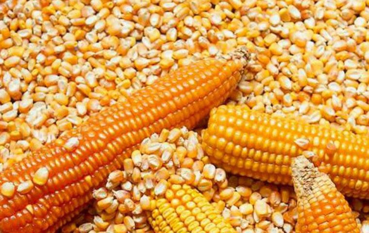Brazil has purchased 1,3 million tons of corn, and in the first three days of September received 65.700 tons against 147,000 tons in September 2020