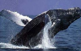 Scientists record whale conversations