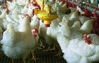Broiler meat production is expected to reach 1.7 million tons in 2011
